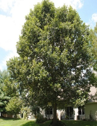 Swamp White Oak