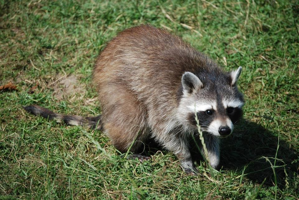 raccoon-1000381_1280