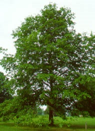 Shingle Oak
